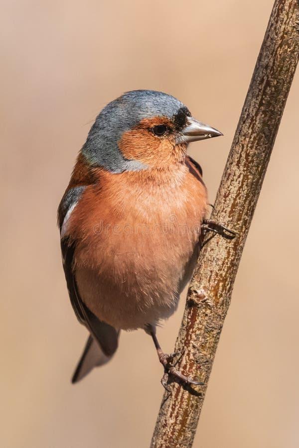 Pospolity finch, jaskrawy ptak siedzi na cienkiej gałąź i spojrzeniach przy fotografem zdjęcia royalty free