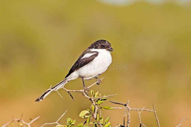 Pospolity Fiskalny dzierzba ptak na cierniowym drzewie fotografia stock
