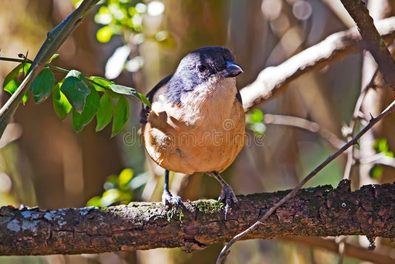 Pospolity Fiskalny dzierzba ptak umieszczający na gałąź zdjęcia royalty free