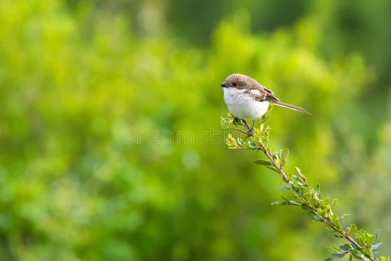 Pospolity Fiskalny dzierzba ptak w brązu bielu przy Ngorongoro kraterem, Tanzania, Afryka zdjęcie stock