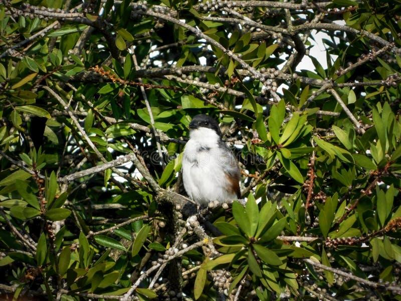 Pospolity Fiskalny ptak fotografia stock