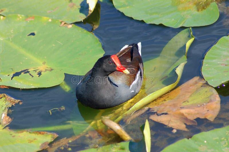 Pospolity gallinule w spatterdock stawie zdjęcie royalty free