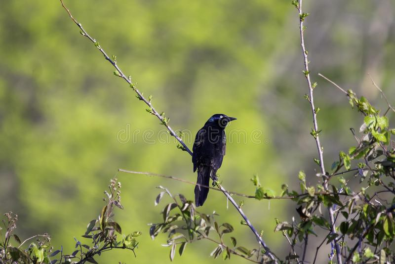 Pospolity grackle Quiscalus quiscula obraz royalty free