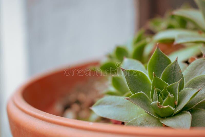 pospolity houseleek sempervivum tectorum zdjęcia stock