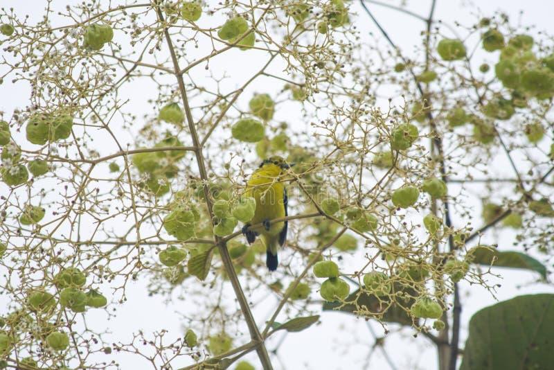 Pospolity Iora na Palash drzewie fotografia royalty free