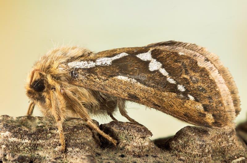 Pospolity jerzyk, ćma, Korscheltellus lupulina obrazy stock