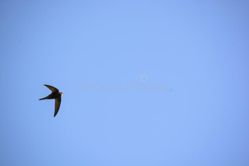 Pospolity jerzyk lub Apus apus latamy w niebieskim niebie zdjęcie royalty free