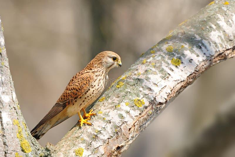 Pospolity Kestrel (Falco tinnunculus) obrazy stock