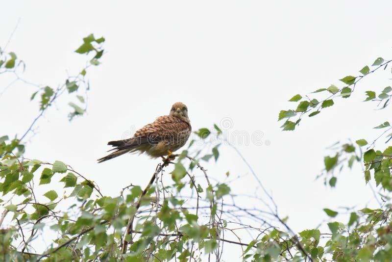 Pospolity kestrel Falco tinnunculus - dorosły żeński ptak zdjęcia royalty free