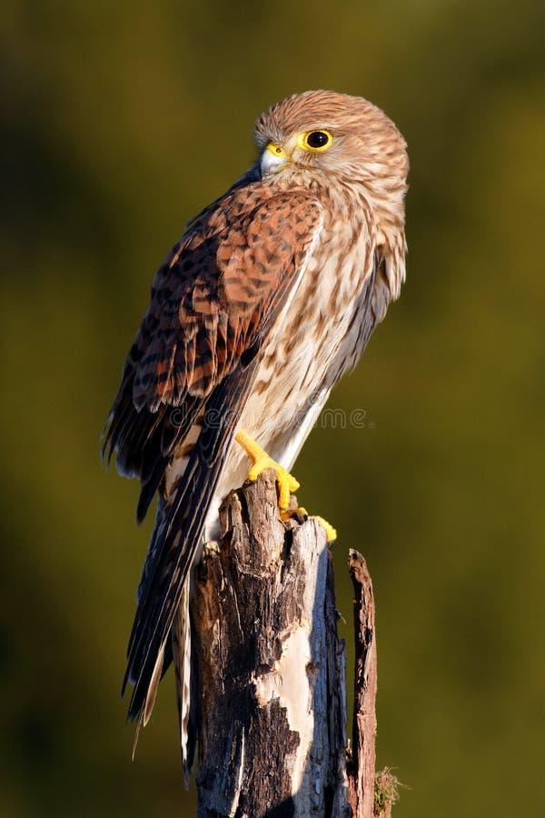 Pospolity Kestrel, Falco tinnunculus, mali ptaki zdobycza obsiadanie na drzewnym bagażniku, Szwecja fotografia royalty free