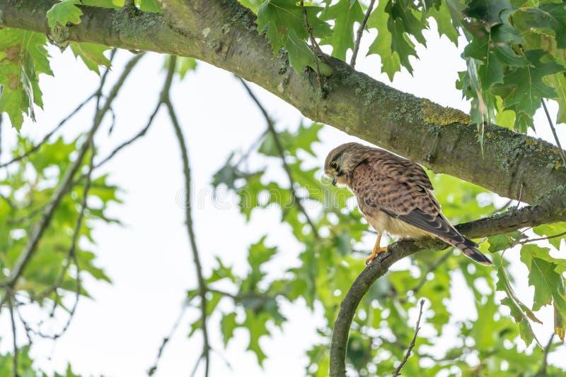 Pospolity Kestrel Falco tinnunculus odpoczywać fotografia stock