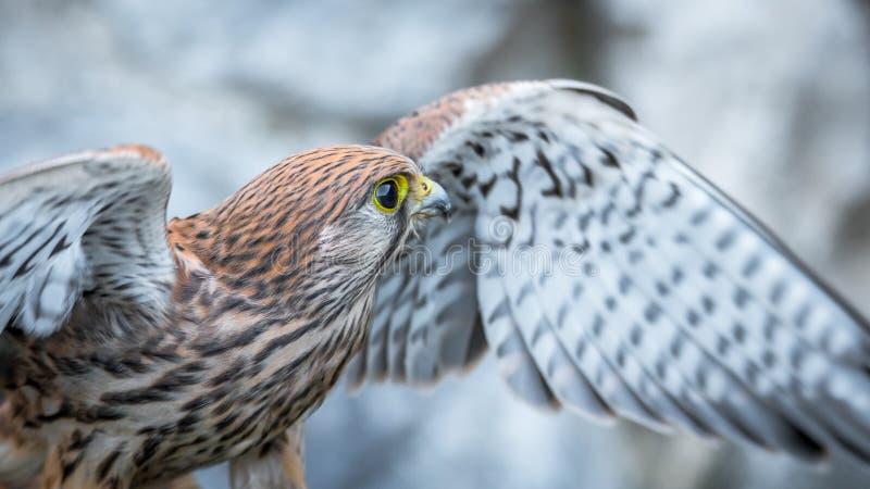 Pospolity kestrel, ptak zdobycz zdjęcia stock