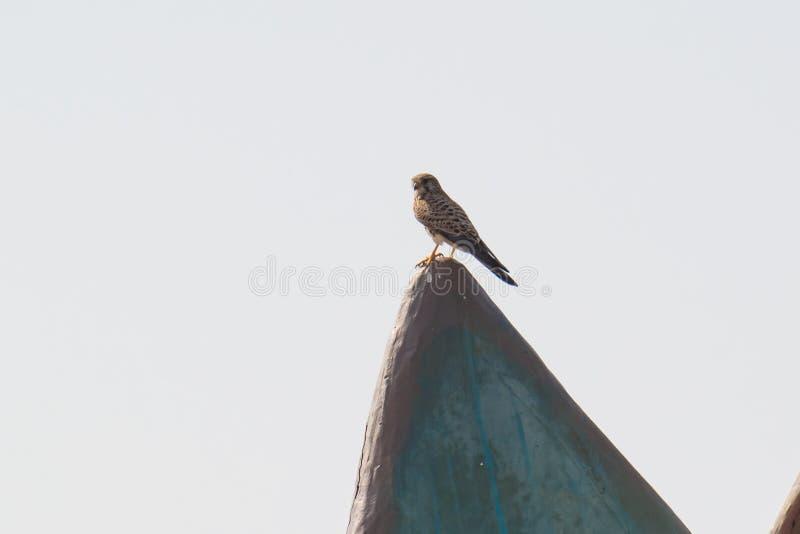 Pospolity Kestrel ptaka drapieżnego ptak zdobycz obrazy royalty free