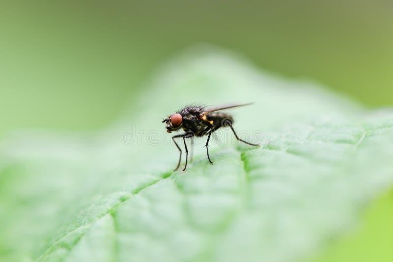 Pospolity komarnicy obsiadanie na zielonym prześcieradle obrazy stock