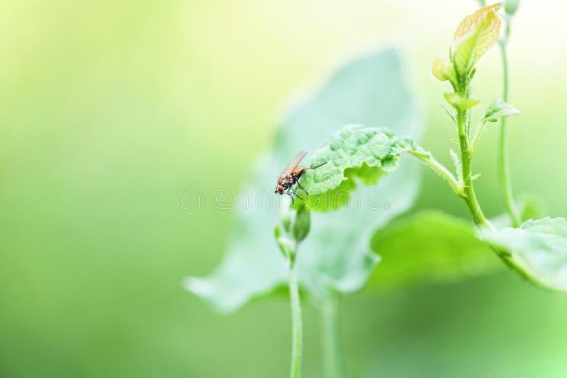 Pospolity komarnicy obsiadanie na zielonym prze?cieradle, makro- fotografia zdjęcia royalty free