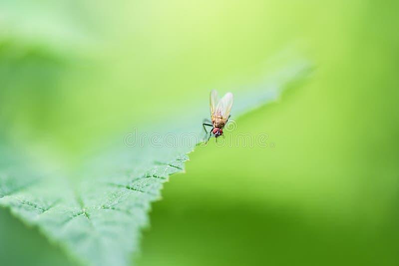 Pospolity komarnicy obsiadanie na zielonym prze?cieradle, makro- fotografia fotografia royalty free