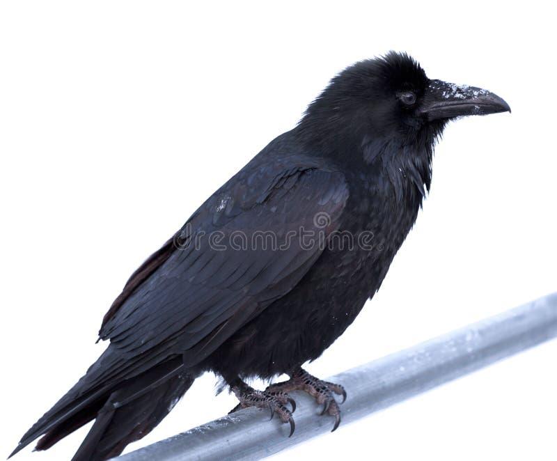 Pospolity kruka Corvus corax umieszczał na metalu barze zdjęcie royalty free