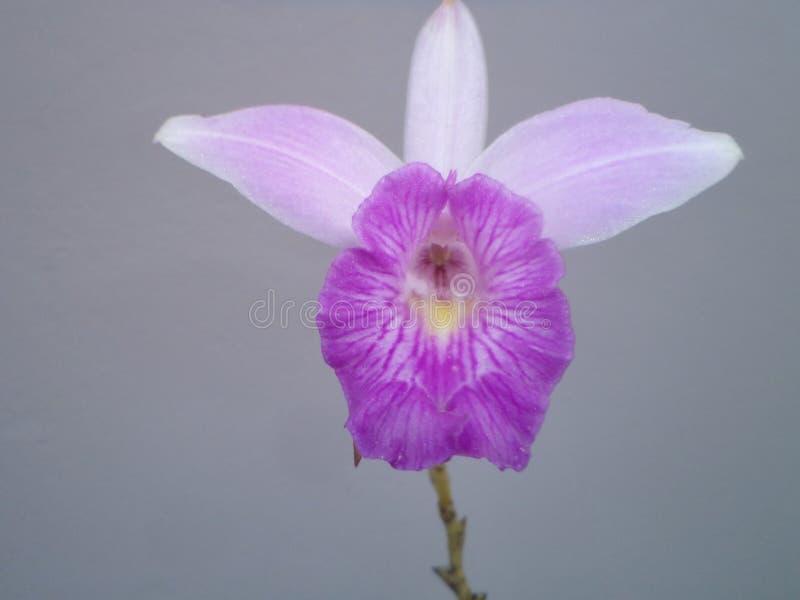 Pospolity kwiat jednakowy orchidea zdjęcia stock