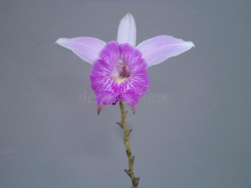 Pospolity kwiat jednakowy orchidea zdjęcie royalty free