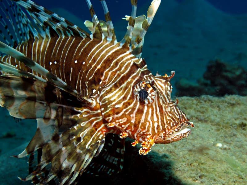 pospolity lionfish obraz royalty free