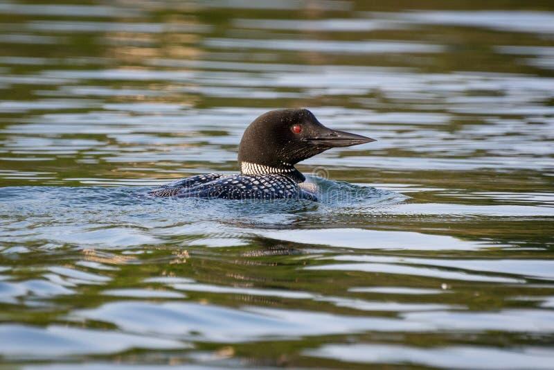 Pospolity loon dopłynięcie na Minnestoa jeziorze zdjęcie stock