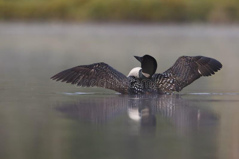 Pospolity Loon wydźwignięcie Od Mglistego jeziora (Gavia immer) zdjęcie royalty free