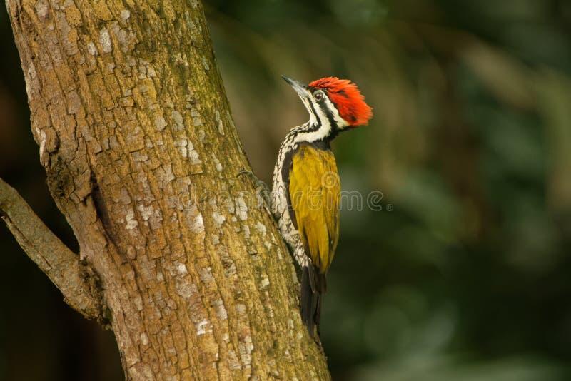 Pospolity lub Goldenback jest ptakiem w rodzinnym Picidae, zakłada w Bangladesz, Brunei, Kambodża, podbródek Flameback, Dinopium  zdjęcia stock