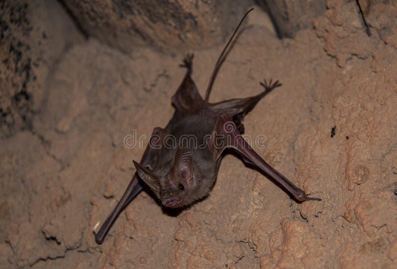 Pospolity mały wampira nietoperz przy piasek jamą zdjęcie royalty free