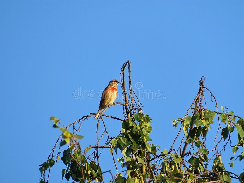 Pospolity makolągwa ptak na brzozy drzewie zdjęcie royalty free