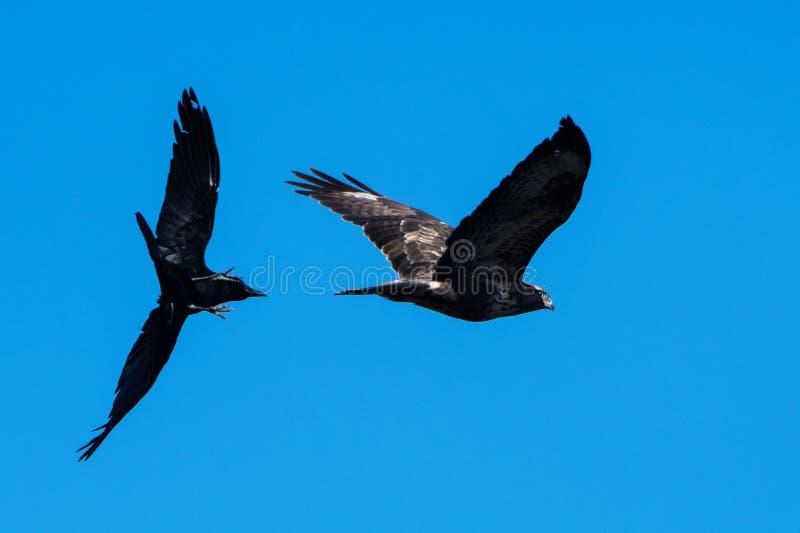 Pospolity myszołów, Buteo buteo vs Carrion wrona, Corvus corone zdjęcie royalty free