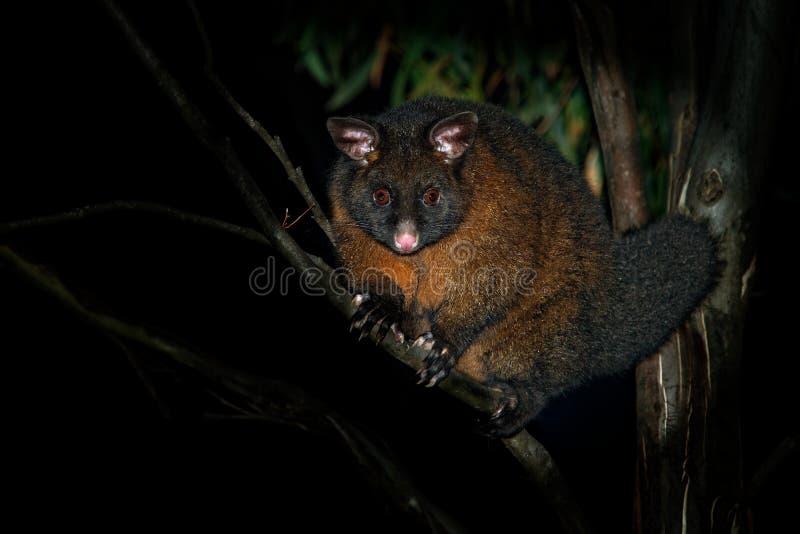 Pospolity Ogoniasty Possum nocturnal, nadrzewny torbacz Australia, przedstawiający Nowa Zelandia - Trichosurus vulpecula - zdjęcia stock
