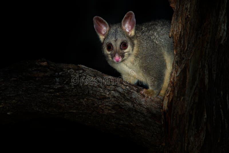Pospolity Ogoniasty Possum nocturnal, nadrzewny torbacz Australia, przedstawiający Nowa Zelandia - Trichosurus vulpecula - obraz royalty free
