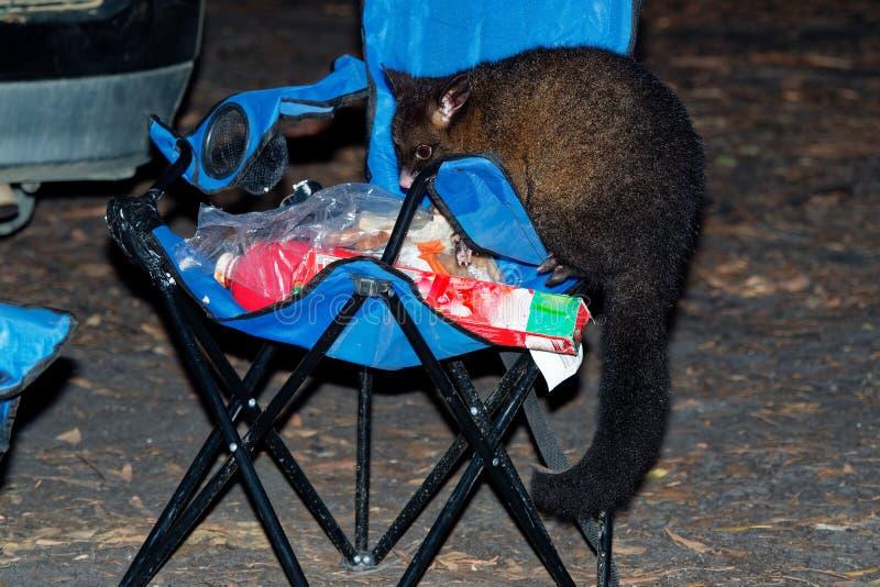Pospolity Ogoniasty Possum nocturnal, nadrzewny torbacz Australia, przedstawiający Nowa Zelandia - Trichosurus vulpecula - ST zdjęcia stock