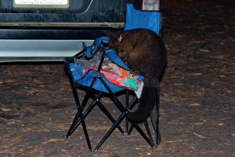 Pospolity Ogoniasty Possum nocturnal, nadrzewny torbacz Australia, przedstawiający Nowa Zelandia - Trichosurus vulpecula - ST obraz royalty free