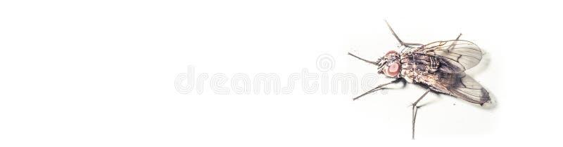 Pospolity owocowej komarnicy lub ocet komarnicy drozofili melanogaster ilustracja wektor