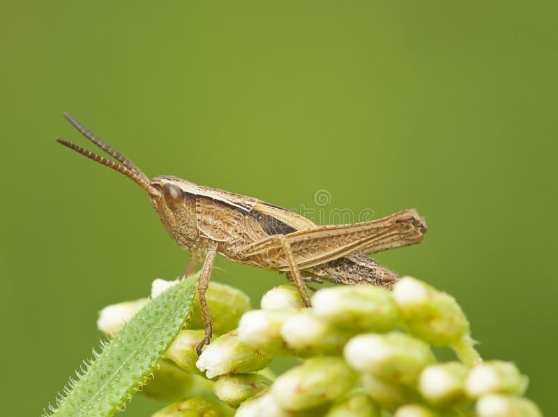 Pospolity pole Grasshoper zdjęcie stock