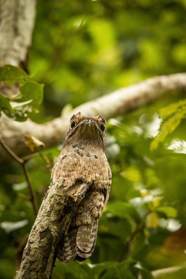 Pospolity Potoo, Nyctibius griseus na nieboszczyk gałąź w drzewie, Trinidad, tropikalny las, camouflaged ptak z dużymi żółtymi oc obrazy royalty free