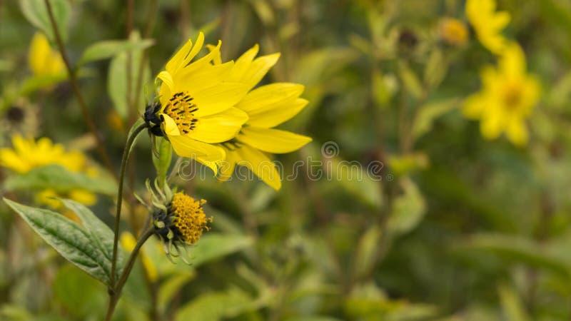 Pospolity Ragwort Senecio jacobaea - piękny żółty kwiatu zbliżenie makro- zdjęcie stock