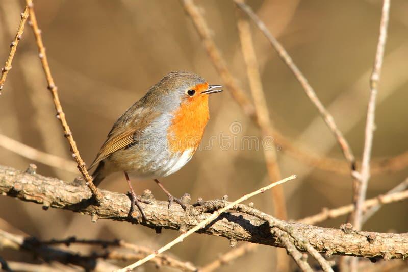 Download Pospolity rudzik zdjęcie stock. Obraz złożonej z ptak - 13332104