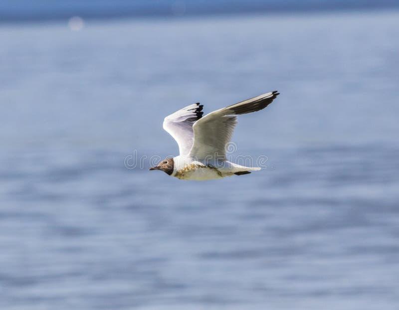 pospolity seagull zdjęcia stock