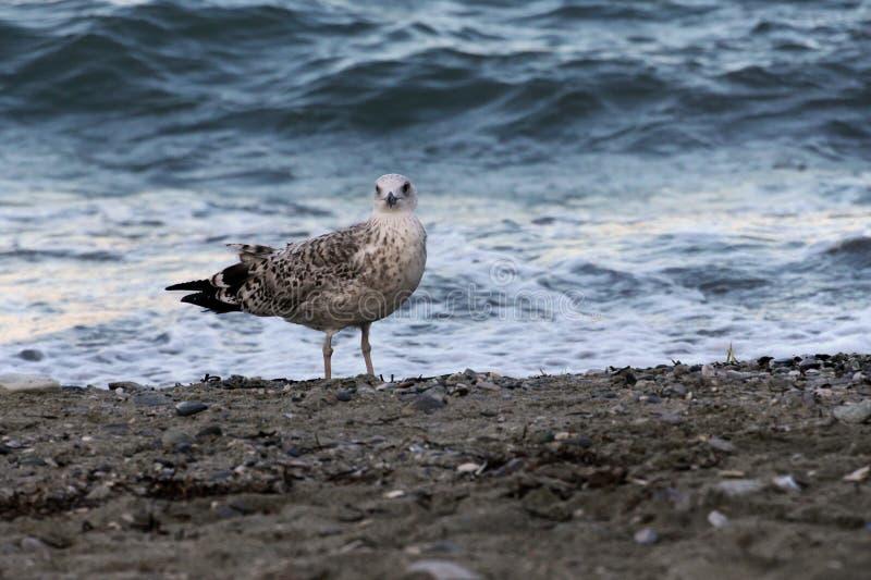 Pospolity seagull Larus canus patrzeje na kamerze zdjęcie royalty free