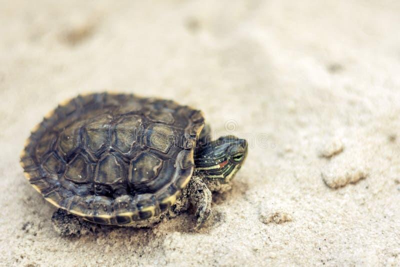 Pospolity suwak, także znać jako Cumberland suwaka żółw, Słyszący suwaka żółw, suwaka Trachemys scripta na piasku zdjęcie royalty free