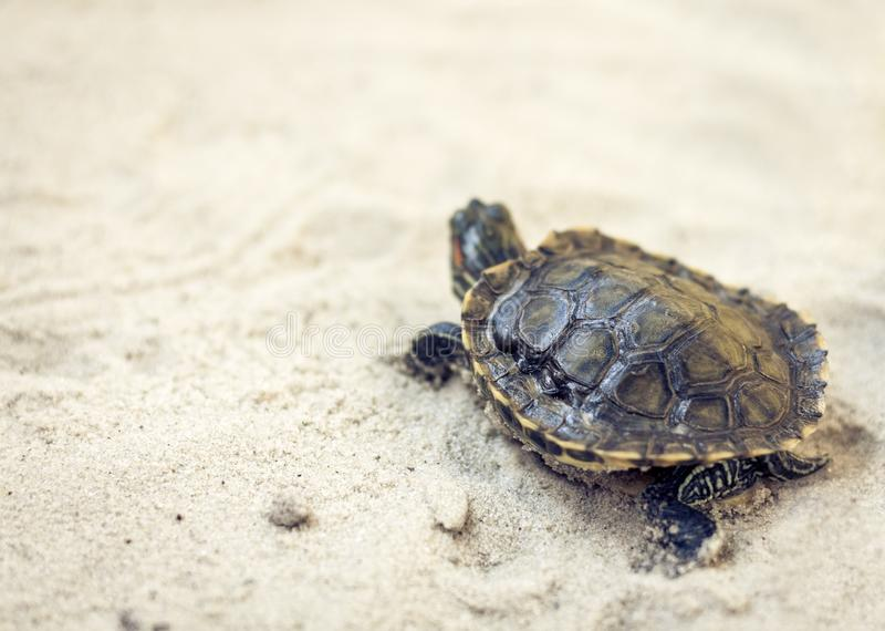 Pospolity suwak, także znać jako Cumberland suwaka żółw, Słyszący suwaka żółw, suwaka Trachemys scripta na piasku zdjęcia royalty free