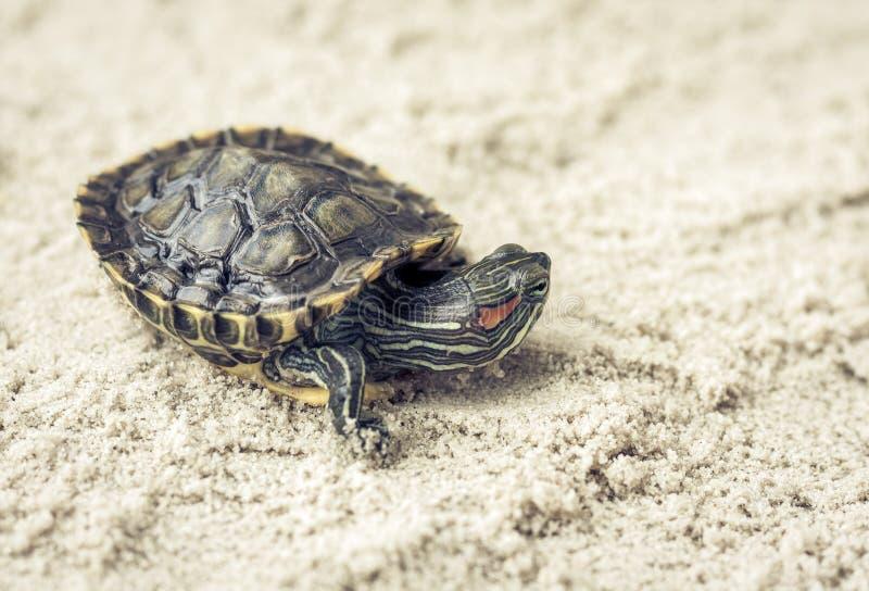 Pospolity suwak, także znać jako Cumberland suwaka żółw, Słyszący suwaka żółw, suwaka Trachemys scripta na piasku obrazy royalty free