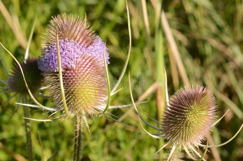 Pospolity Teasel z lawendowymi purpurowymi kwiatami obrazy stock