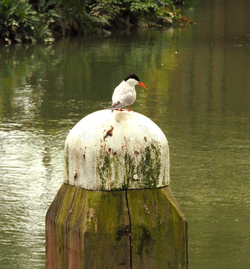 Pospolity Tern obsiadanie na promienia above - wodzie zdjęcia royalty free