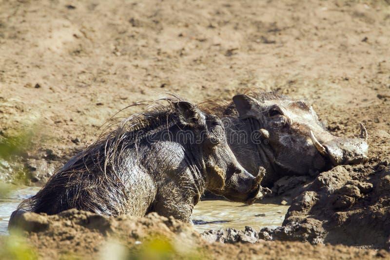 Pospolity warthog havinf borowinowy skąpanie w Kruger parku narodowym fotografia royalty free