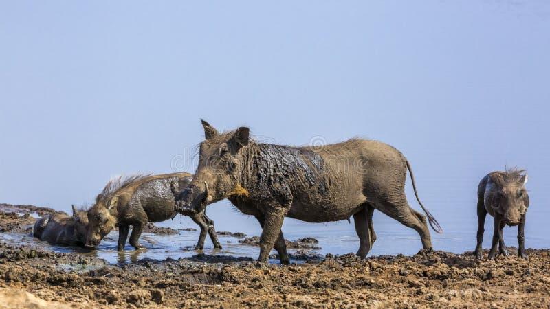 Pospolity warthog w Kruger parku narodowym, Południowa Afryka zdjęcia royalty free