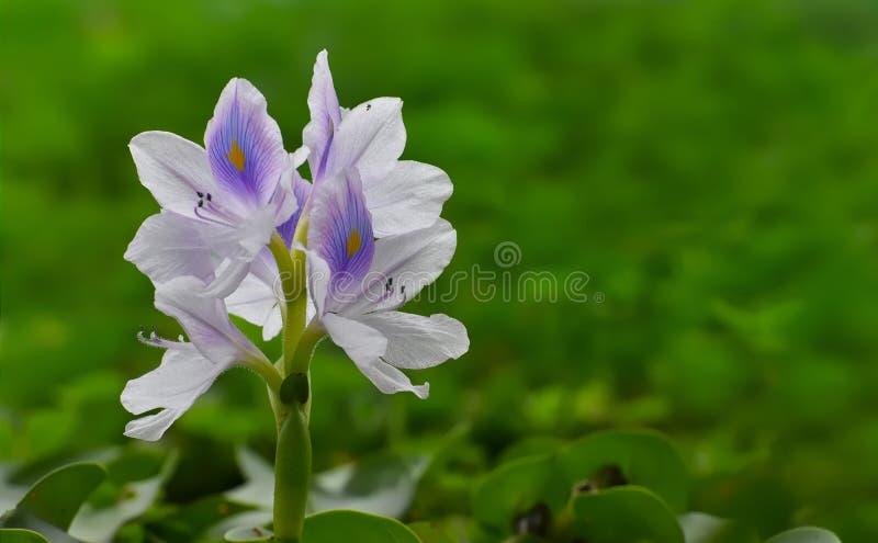 Pospolity Wodnego hiacyntu kwiat obrazy stock