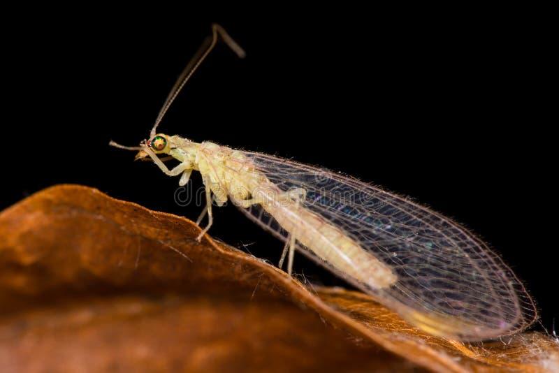 Pospolity zielony lacewing (Chrysoperla carnea) zdjęcia royalty free